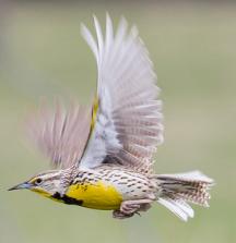 western meadowlark flying
