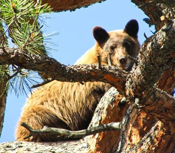 bears climb trees very well.