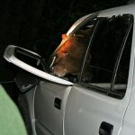 bear sticking his head out through a car window