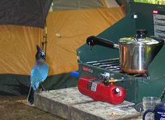 blue jay on table next to camping stove