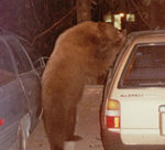 bear starting to get into a car