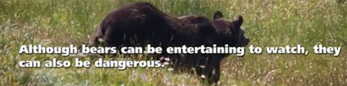 although bears can be entertaining to watch, they can also be dangerous