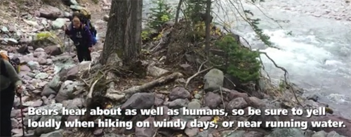 bears hear about as well as humans, so be sure to yell loudly when hiking on windy days, or near running water