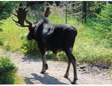 bull moose walking on trail