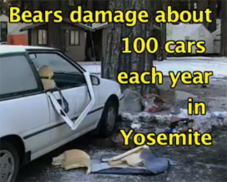 bears damage about 100 cars each year