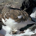 brown and white bird on white snow and brown rocks