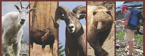 mountain goat, moose big horn sheep bear and hiker it is their home, we are only visitors