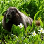 marmot with a leaf in its mouth