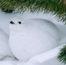 NPS photo Ptarmigan white feathers in winter