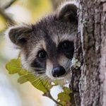 raccoon peaks around tree trunk