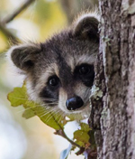 NPS photo Raccoon by Odom for gallery