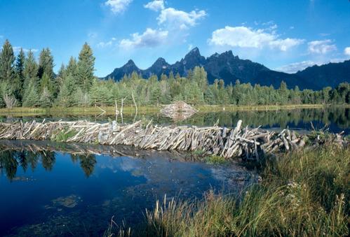 beaver dam and pond
