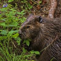 A beaver eats dinner near Horseshoe Lake on Thursday, June 29, 2017.