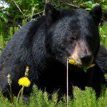 black bear eating dandelion blossoms