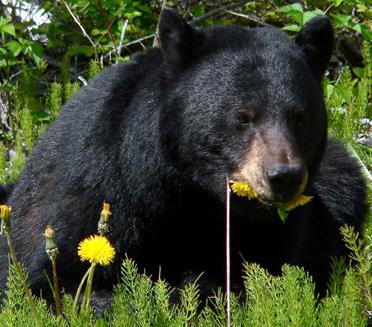 NPS photo black bear dining on dandelion flowers square
