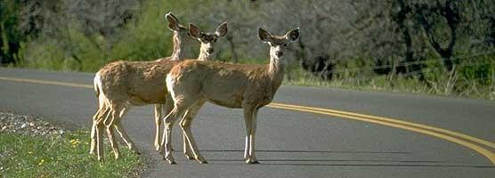 three deer on road