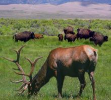 NPS photo elk grazing, bison behind square