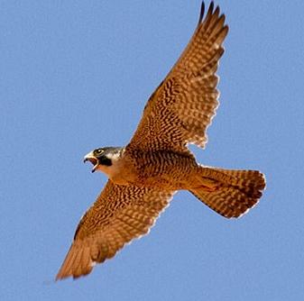 NPS photo peregrine falcon in flight by Andrew Kuhn