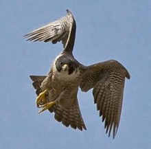 NPS photo peregrine falcon in flight