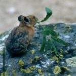 pika with small branch of leaves in mouth