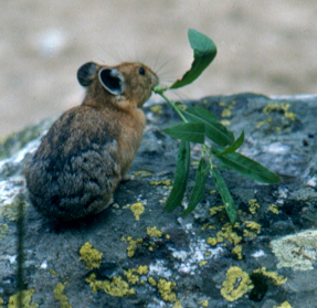 NPS photo pika with leaves in mouth
