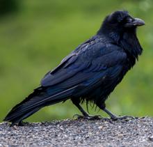 NPS photo raven