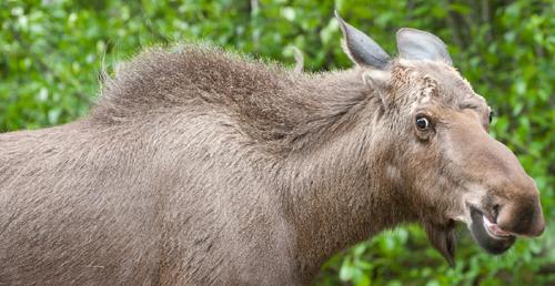 moose showing agitation