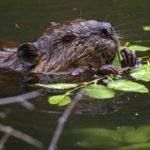 beaver eating leaves