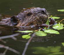 beaver eats dinner
