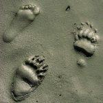 one human paw print, two bear paw prints