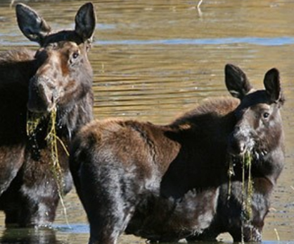 nps photo moose dining copy