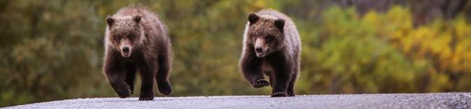 bear cubs running on road