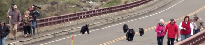 bears on bridge with too many people too nearby