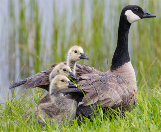 canada goose and 3 goslings