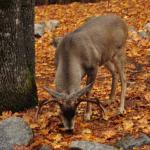 mule deer nibbling at fallen leaves
