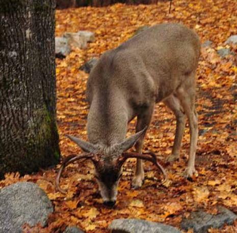 NPS photo mule deer nibbling at fallen leaves