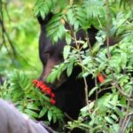 bear in bushes with face next to berry bush