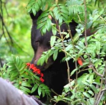 nps bear eating berries copy