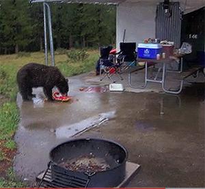 bear eating people's food