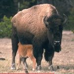 bison with calf feeding