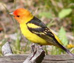 yellow and red bird