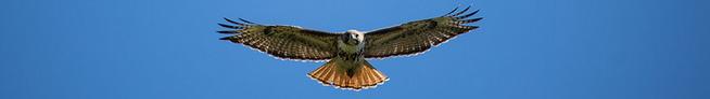 hawk flying