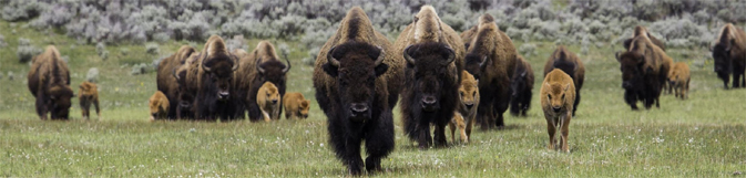 row of bison walking in meadow