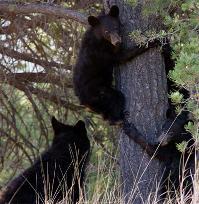 three bears, two in tree