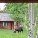 moose in small meadow next to cabin