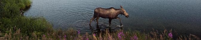 moose at edge of lake