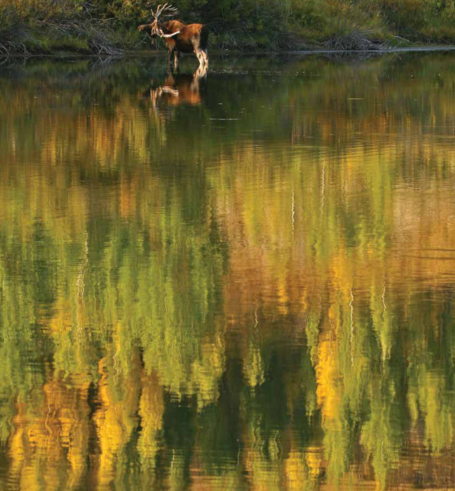 bull moose and tree reflections in water