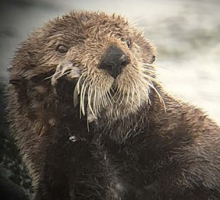 close up of a sea otter